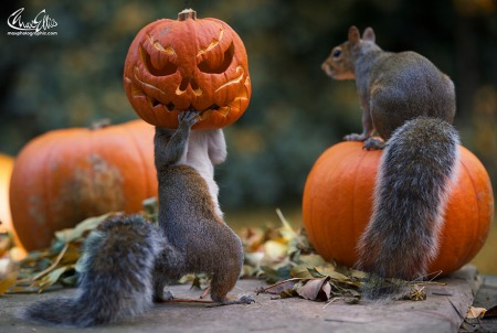squirrel-steals-carved-pumpkin-max-ellis-1.jpg