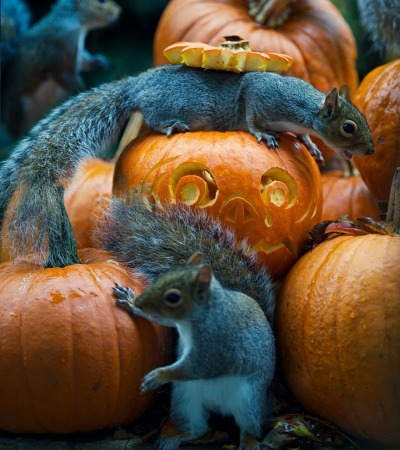 squirrel-steals-carved-pumpkin-max-ellis-2.jpg