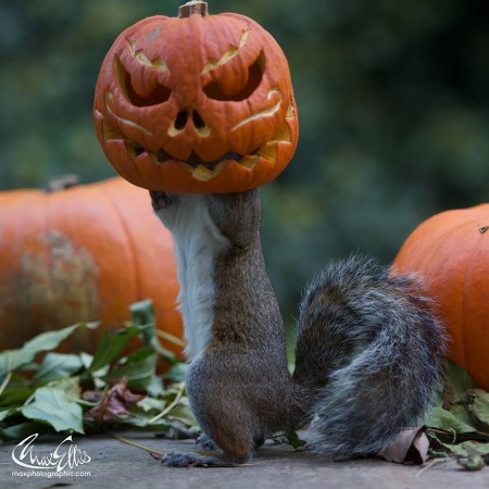 squirrel-steals-carved-pumpkin-max-ellis-3.jpg