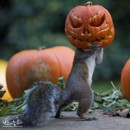 squirrel-steals-carved-pumpkin-max-ellis-6.jpg