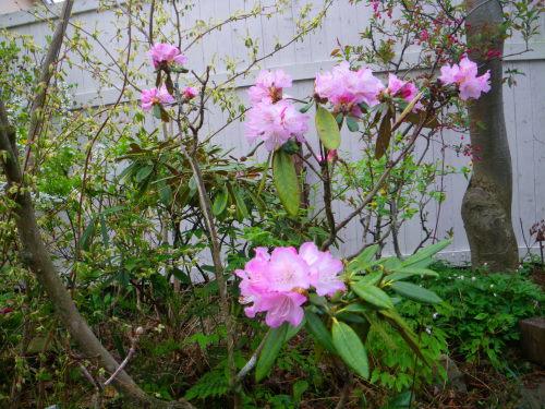 石楠花425の1