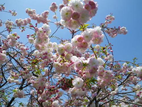 八重桜429