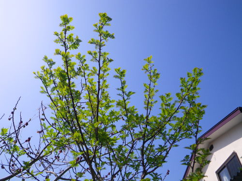 山椒の木429