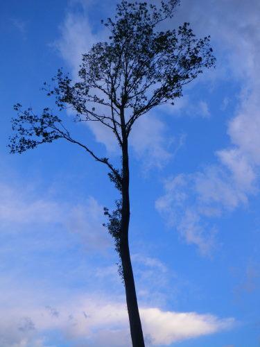 樫の木55