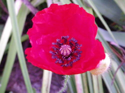 虞美人草1番花