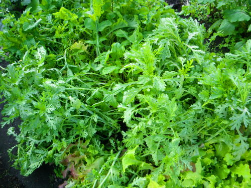 葉物野菜530