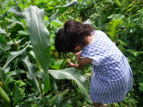 トウモロコシの収穫78