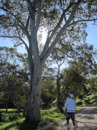 ユーカリの木を見上げるポタ夫
