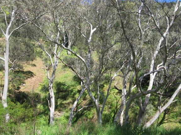 ユーカリの木々