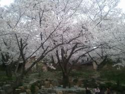 s-2012-04-24 18.37.04under the sakura