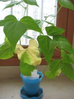 IMG_5091インゲン鉢植え