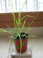 IMG_5090小麦