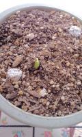 フウセンカズラの芽