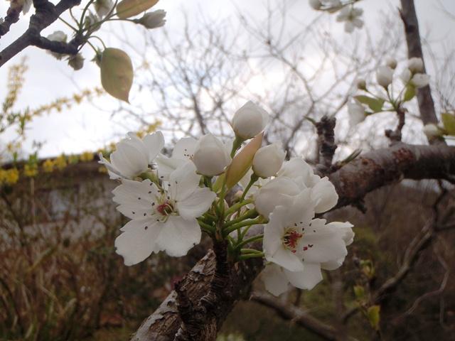 梨の花120421