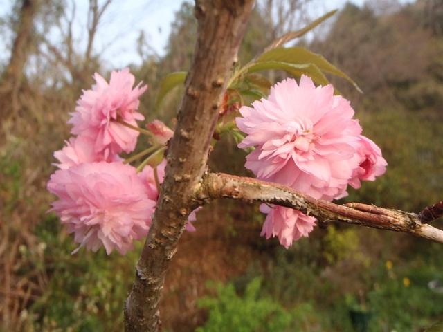 八重の枝垂れ桜120424