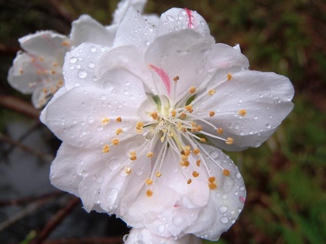 源平枝垂れ花桃