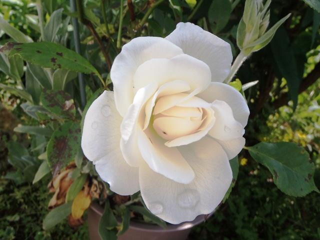 薔薇125026