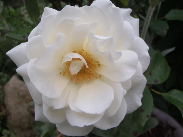 白いバラ120528