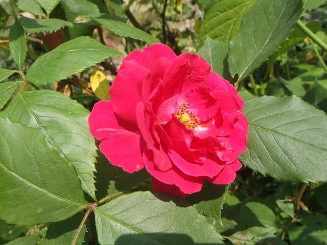 赤いバラ120528