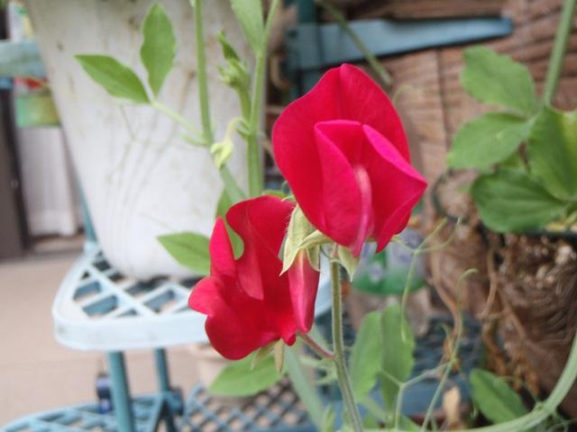 赤いスイトピー120530