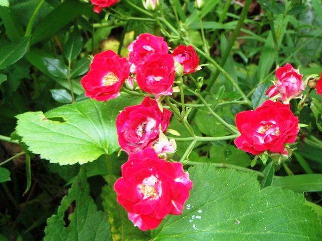 赤いバラ120628