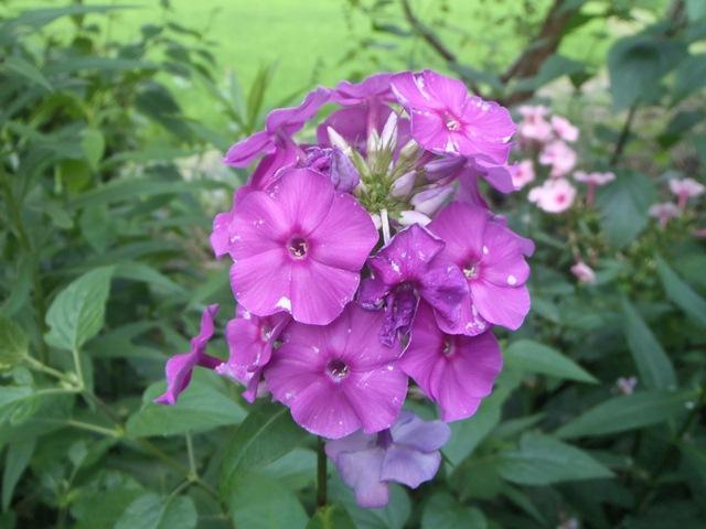宿根フロックス紫120727
