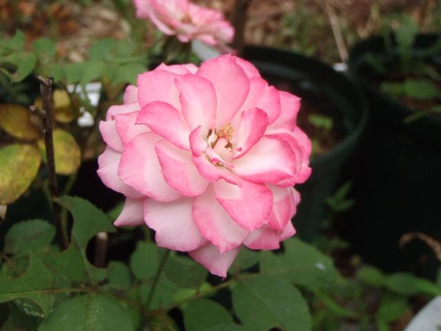 ピンクのバラ120830