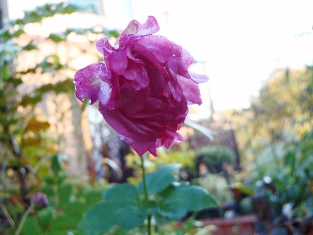八重の秋明菊121024
