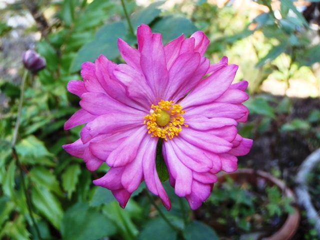 八重の秋明菊121025