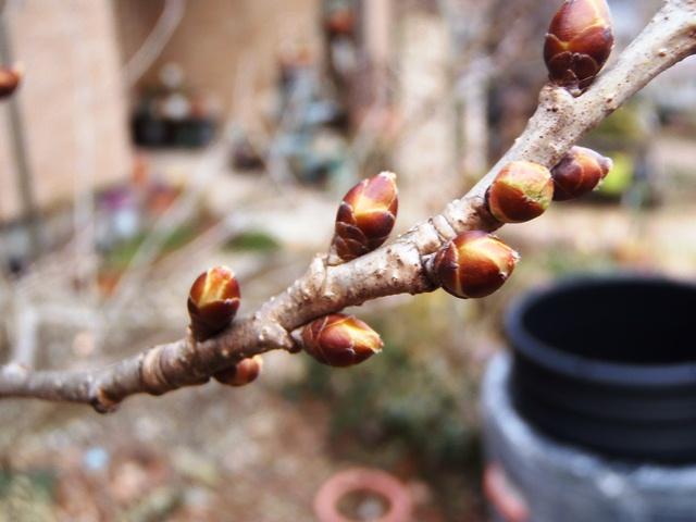 さくらんぼ暖地桜桃130217