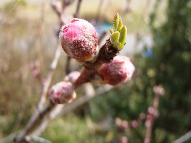 桃の蕾130324