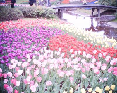チューリップ4:R2:昭和記念公園