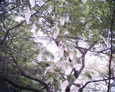 ハンカチの木:R2:新宿御苑