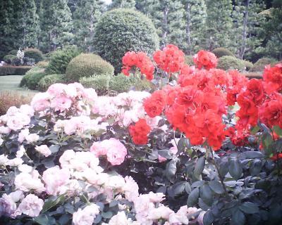 新宿御苑バラ園2:R2