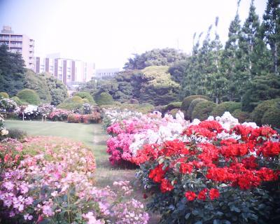 新宿御苑バラ園4:R2