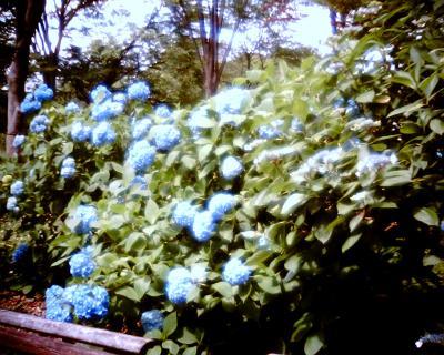 紫陽花:Entry
