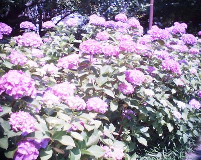 紫陽花・多摩川台公園:R2