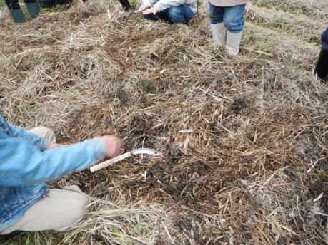 玉葱苗の植え付け1