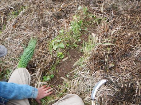玉葱苗の植え付け2