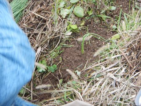 玉葱苗の植え付け3