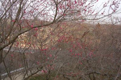 津山市神代梅の里公園 梅開花状況(平成25年3月7日現在)