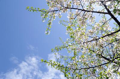 2012-04-hasakura.jpg