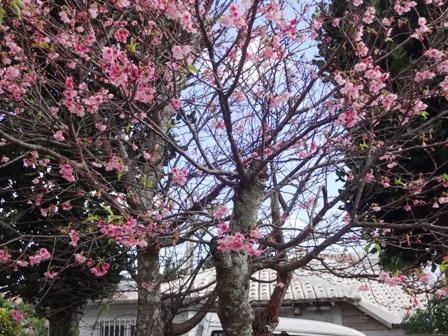 DSC05421 - 桜