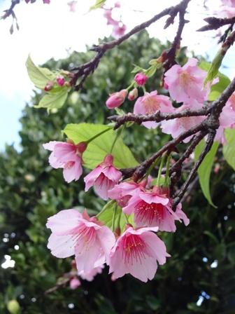 DSC05431 - 桜