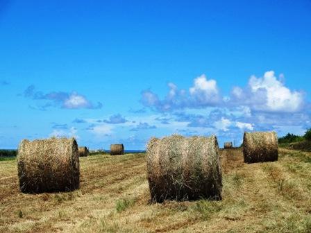 刈取り後牧草