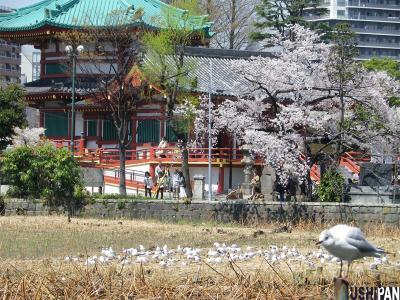 上野公園桜20126