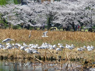 上野公園桜20125
