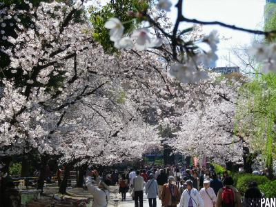 上野公園桜20124