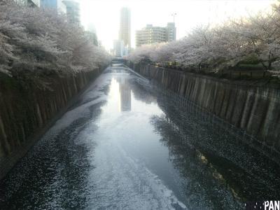 目黒川の桜20122
