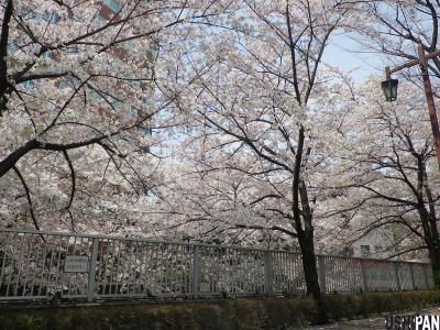 神田川桜2